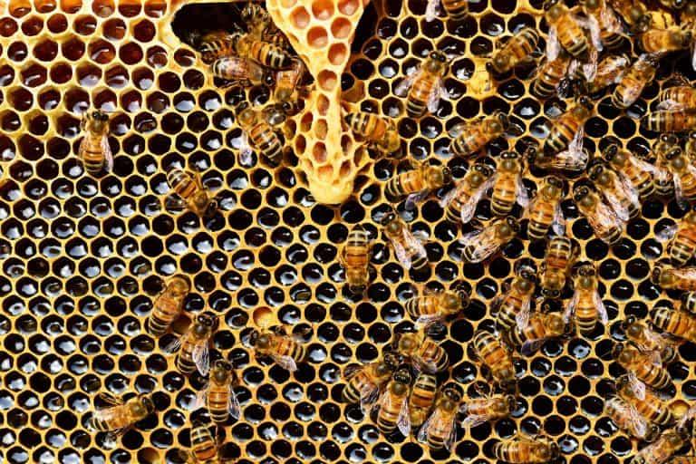 Bienen auf Honigwaben