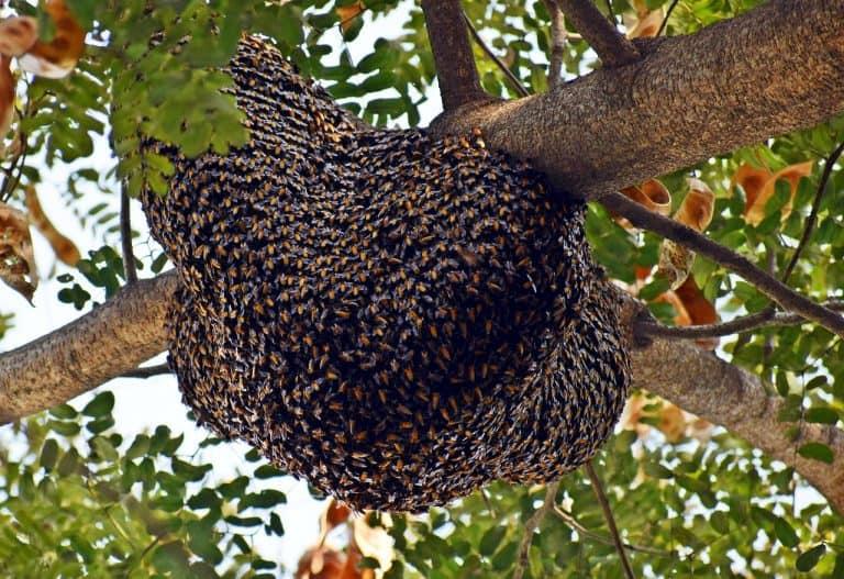 Großer Bienenstock auf einem Baum